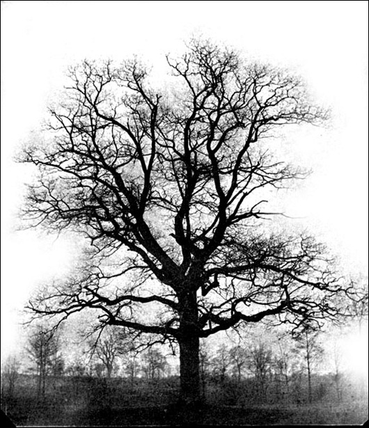 20 Oak tree winter